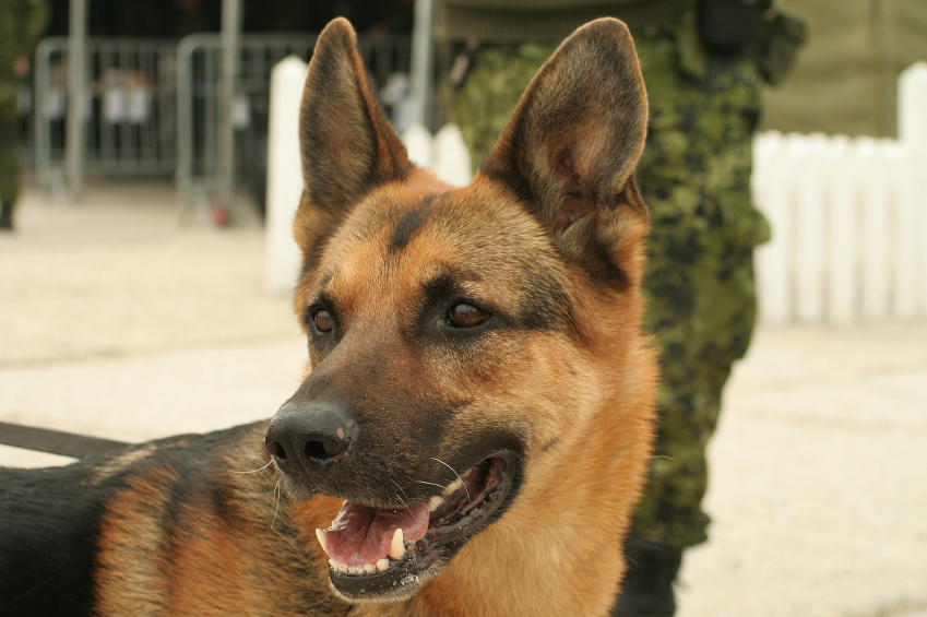 Military Working Dogs Facts